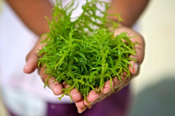 khasiat rumput laut untuk tubuh