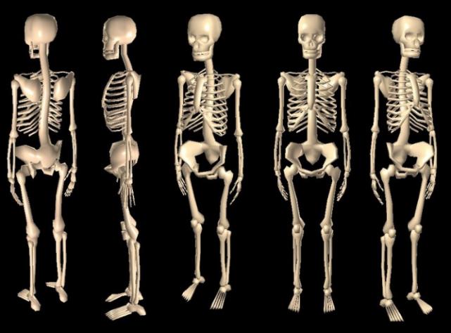 fakta penting tentang tulang manusia